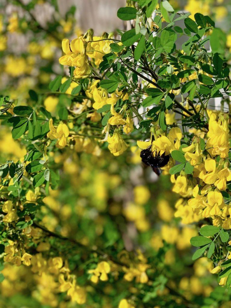 Une grosse abeille noire butine les fleurs jaunes d'un petit robinier faux acaccia.