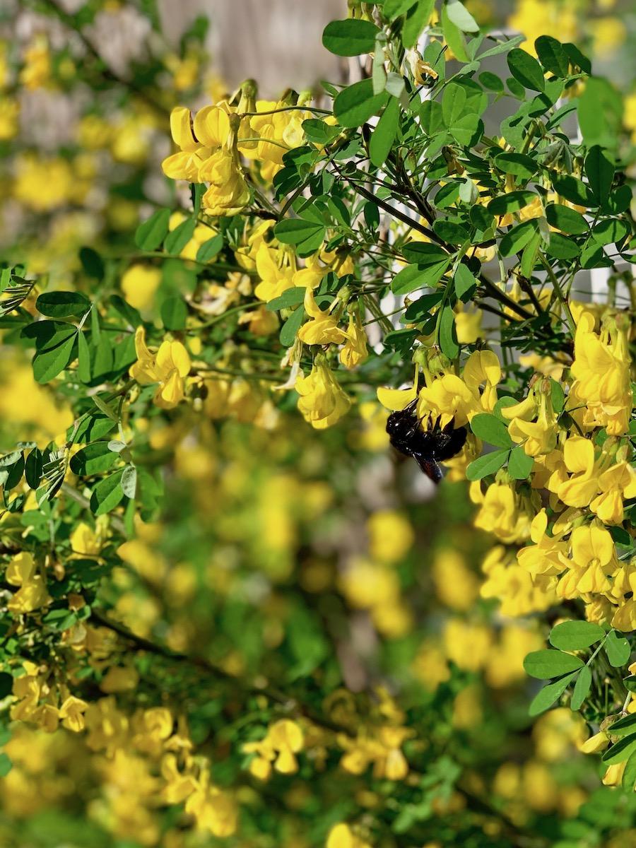 Une abeille sur le Robinier en fleurs.