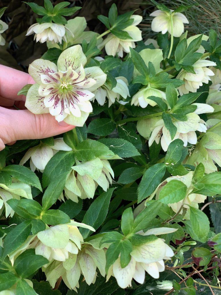 Nombreuses Fleurs d'héllebores blanches et violettes au coeur.