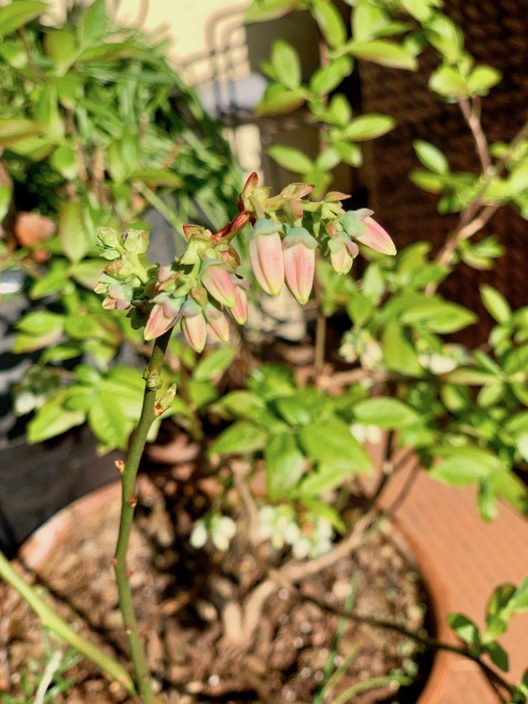 Fleurs de myrtillier, encore en bourgeon.
